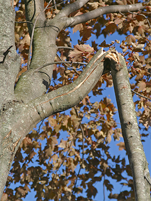 Trim-broken-tree-branches-now-before-winter-weather-increases-the-damage